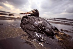 In this photo released by Korean Federation for Environmental Movement, A bird covered in fuel oil from the spill from a Hong-Kong-registered oil tanker sits on the beach near Mallipo, South Korea, Saturday, Dec. 8, 2007. South Korea's largest oil spill reached part of the country's scenic and environmentally sensitive western shore Saturday as the Coast Guard struggled in high waves and strong winds to keep more oil from washing up on beaches. (AP Photo/ Korean Federation for Environmental Movement, HO)