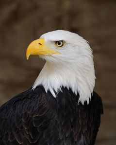 Haliaeetus leucocephalus or as more commonly called... Bald Eagle (19 February 2012). The symbol of Amérique. Author: Saffron Blaze.